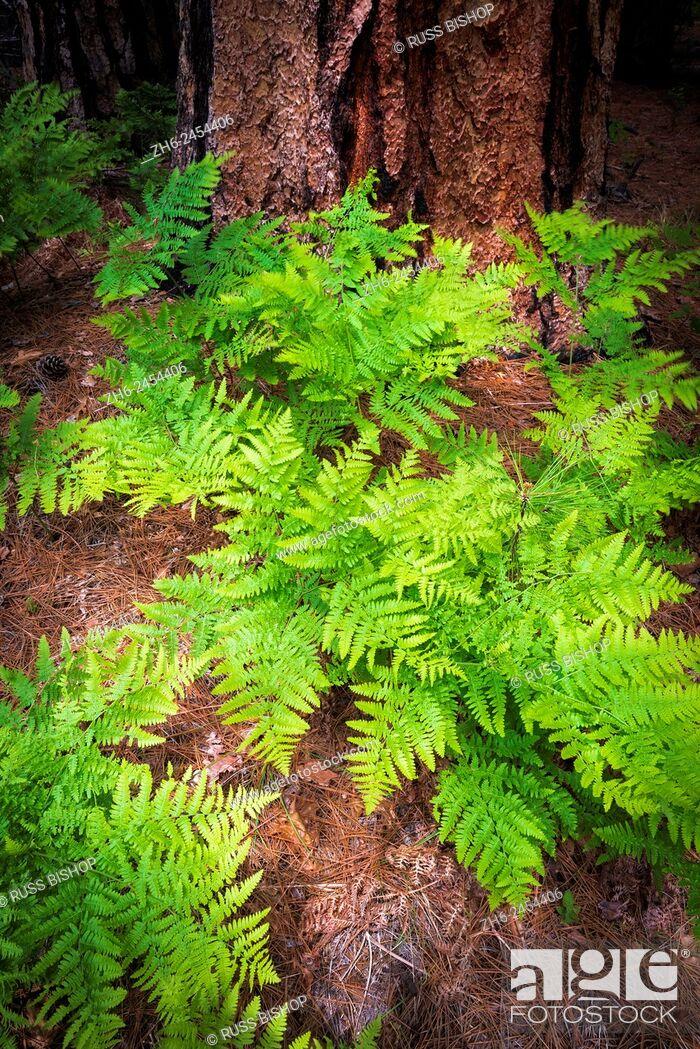 Stock Photo: Ferns and pine, Yosemite Valley, Yosemite National Park, California USA.