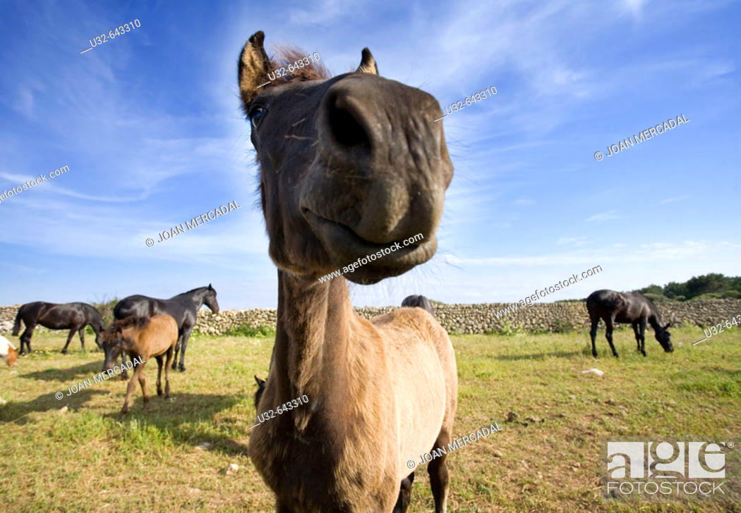 Stock Photo: Foal. Minorca, Balearic Islands. Spain.
