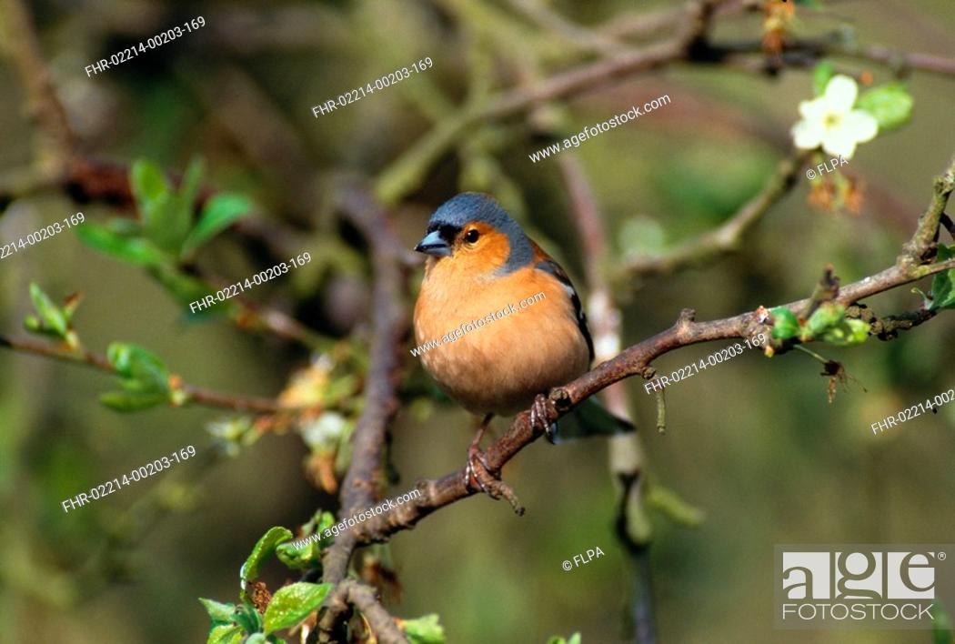 Stock Photo: Chaffinch Cal 02 Fringilla coelebs Male S.
