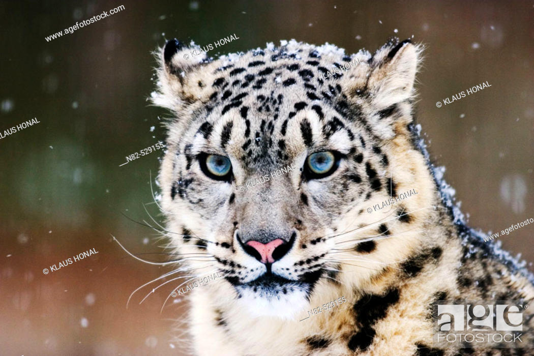 Stock Photo: Snow Leopard or Irbis (Uncia uncia) in winter at snowfall.