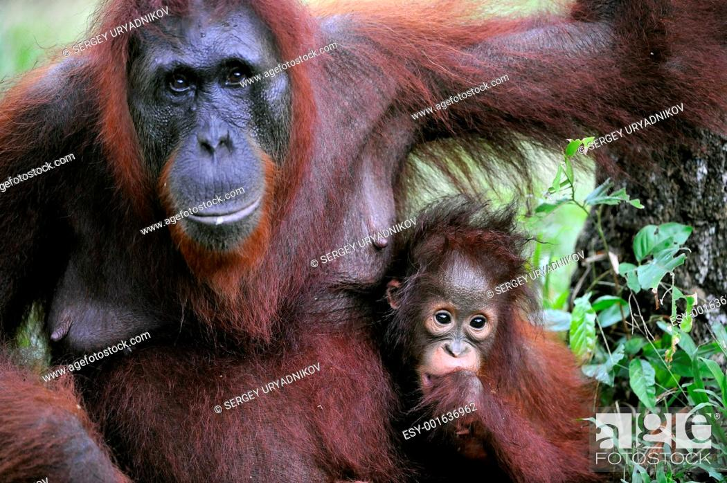 Stock Photo: A female of the orangutan with a baby.