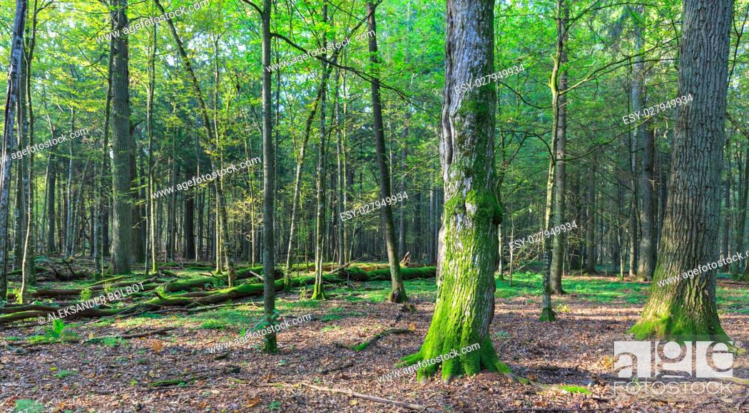 Stock Photo: Autumnal deciduous stand in sunset light with old oak tree foreground, Bialowieza Forest, Poland, Europe.