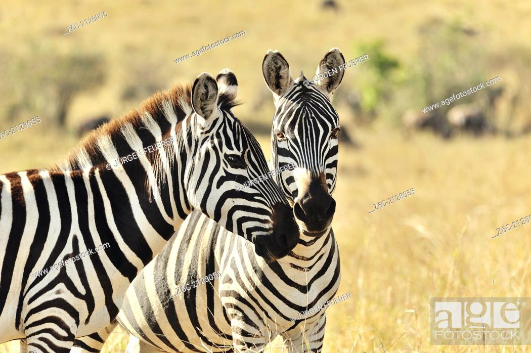 Stock Photo: Two Zebras, Equus burchelli, showing their affection, Masai Mara, Kenya.