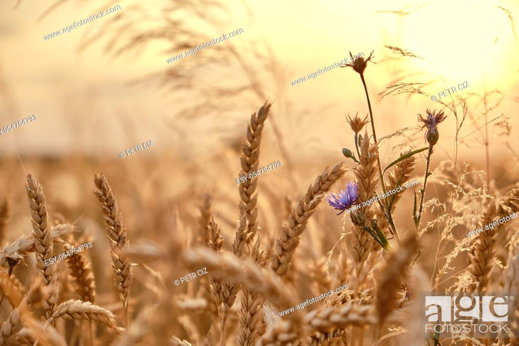 Stock Photo: Golden wheat field with cornflower at sunset background.