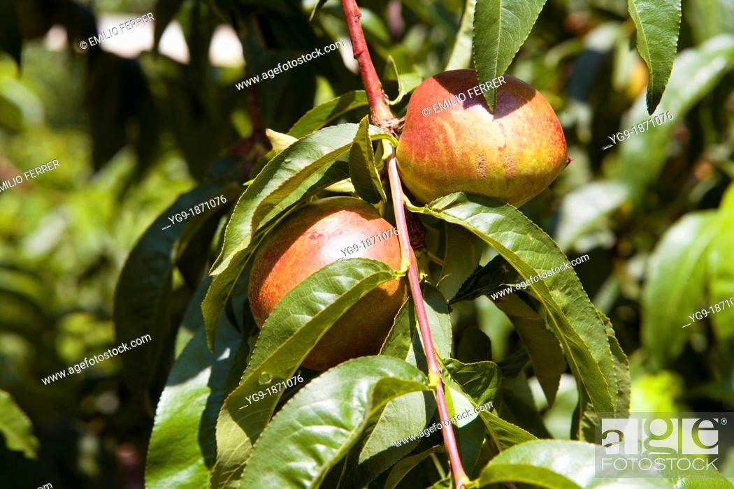 Stock Photo: Nectarine on a tree  LLeida  Spain.