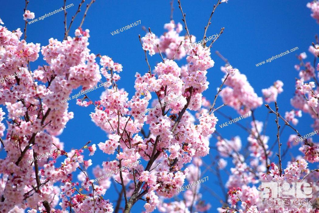 Stock Photo: Cherry blossoms.