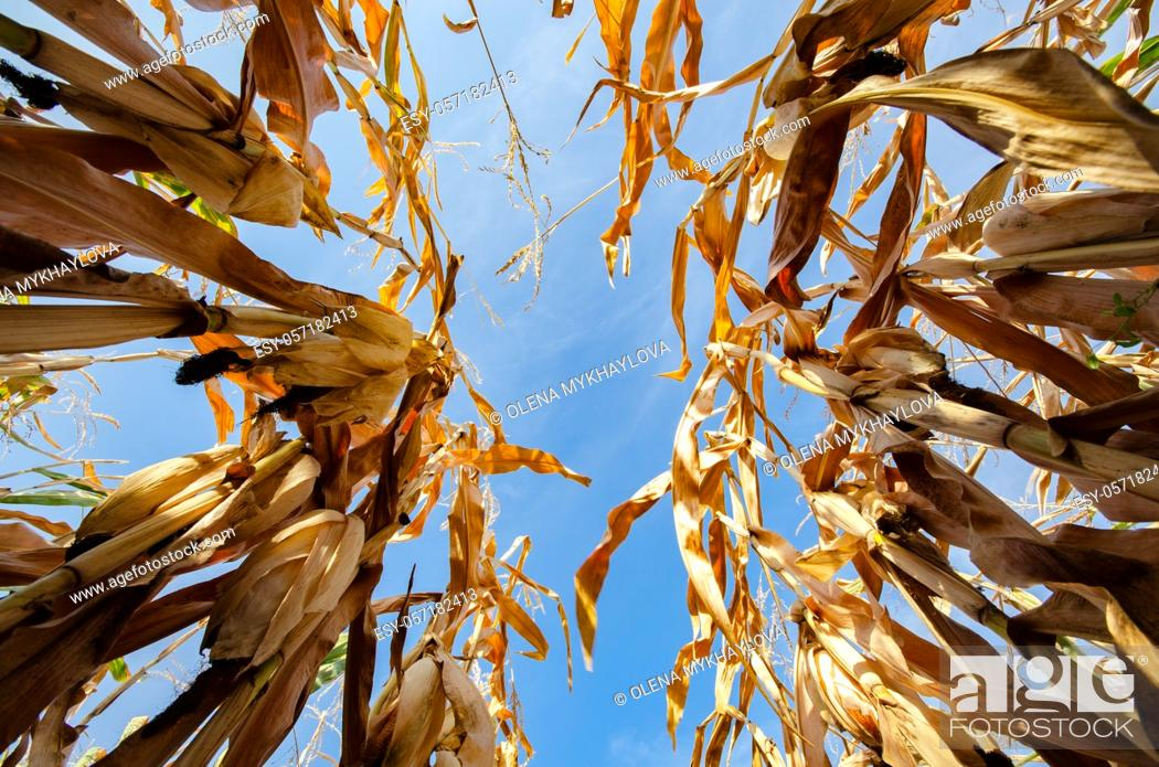 Stock Photo: Lov point wideangle view at maize corn field summer time under daylight. Agriculture industrial background.