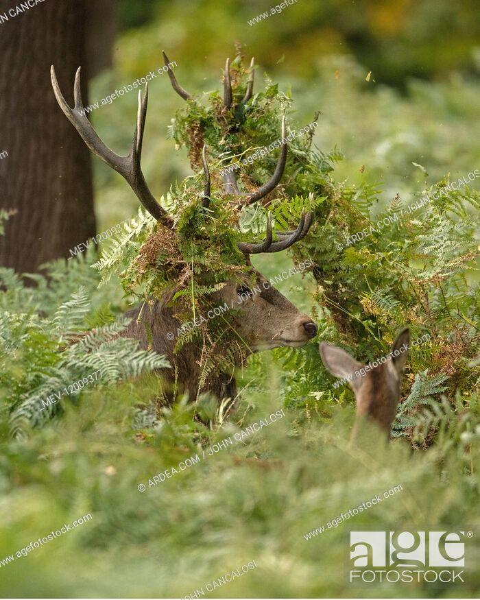 Imagen: red deer (Cervus elaphus), Stag during rut with bracken in antlers, England, U.K.