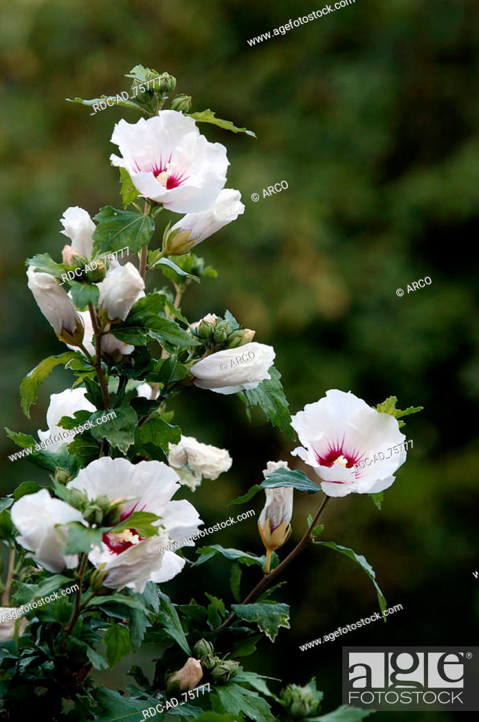 Rose Of Sharon Red Heart Hibiscus Syriacus Stock Photo Picture
