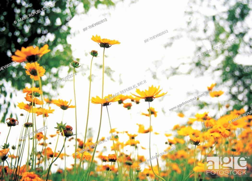 Stock Photo: flower, rudbeckia.