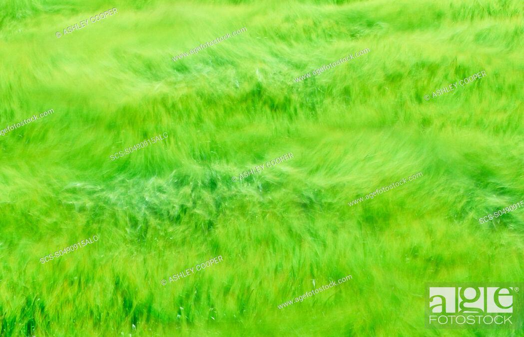 Photo de stock: A cereal crop blowing in the wind, Norfolk, UK.