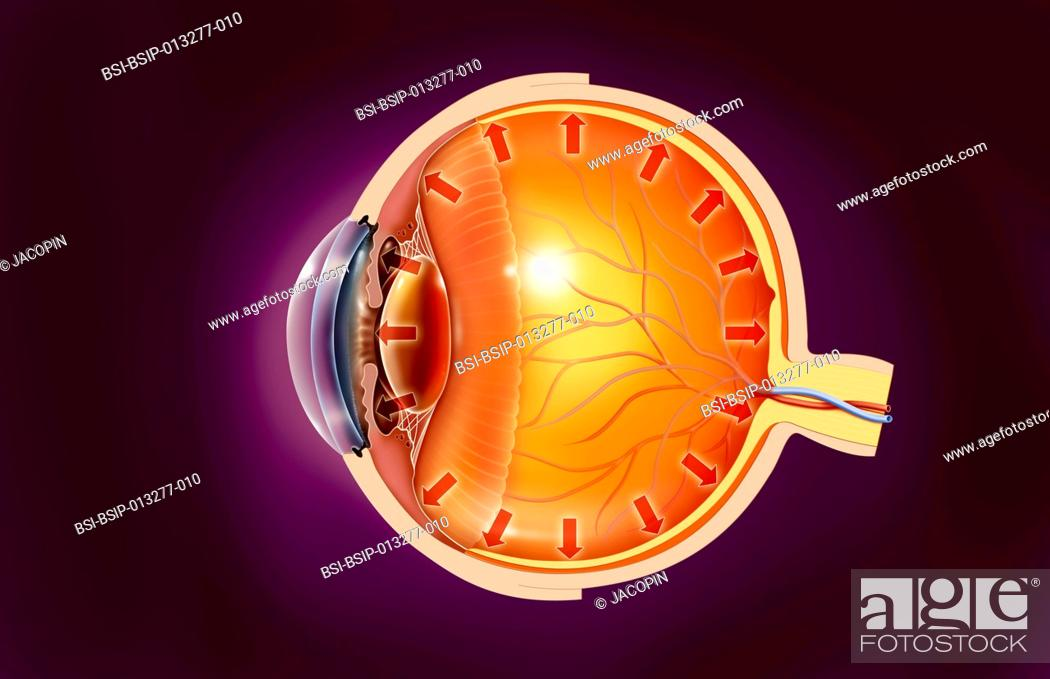 Illustration Of The Anatomy Of The Eye Showing The Trabecular