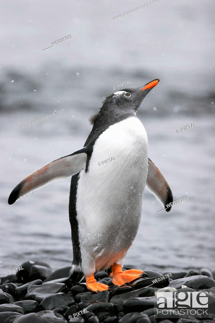 Stock Photo: Adult Gentoo Penguin (Pygoscelis papua) in falling snow, Antarctica.