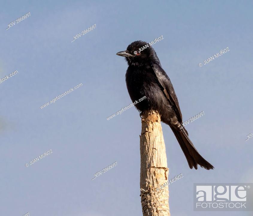 Stock Photo: Fork-tailed Drongo (Dicrurus adsimilis). Windhoek. Namibia.