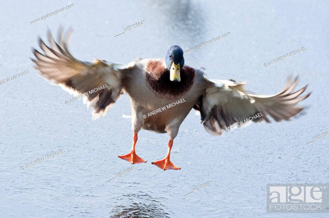 Stock Photo: A Mallard Drake landing on a frozen lake in Worcestershire  England.