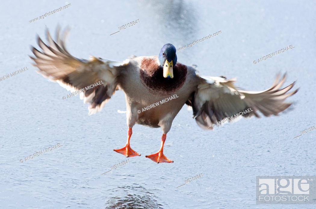Stock Photo: A Mallard Drake landing on a frozen lake in Worcestershire  England.