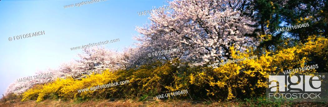 Stock Photo: spring, panorama, season, cherry blossom, golden-bell tree, nature, panoramic view.