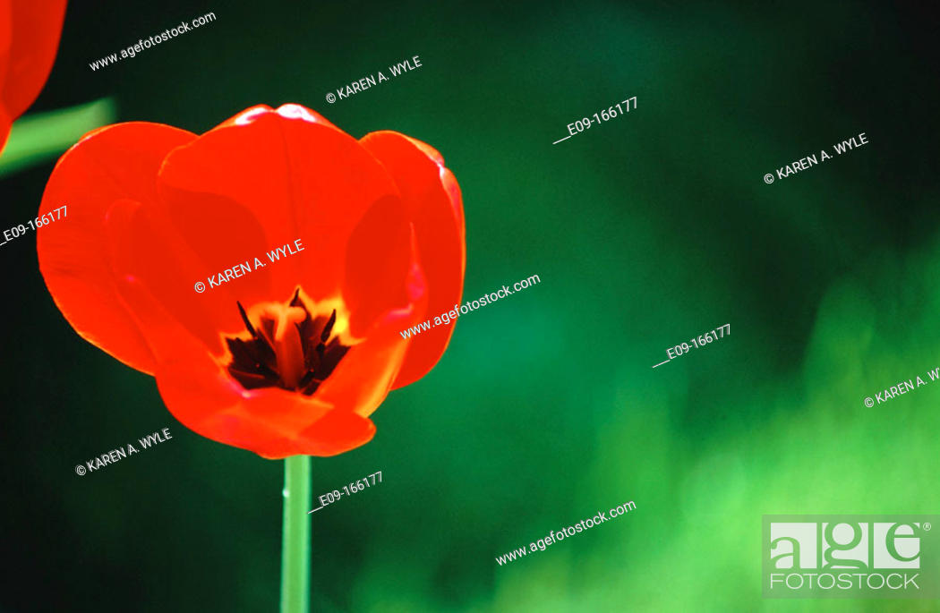Stock Photo: Red tulip with backlit petals, black-and-yellow center showing against light-and-dark green background, Bloomington, Indiana.