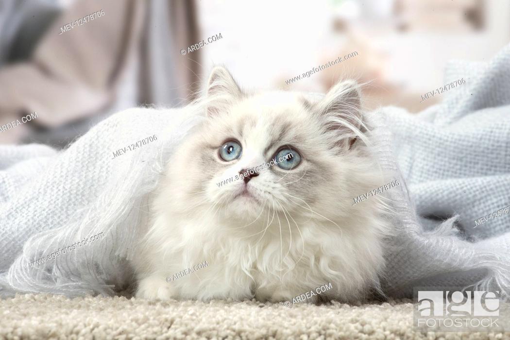 Stock Photo: Minuet Cat indoors.