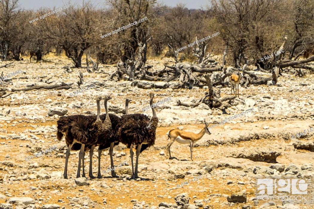 Stock Photo: Namibia - Etosha National Park, Ostrich.