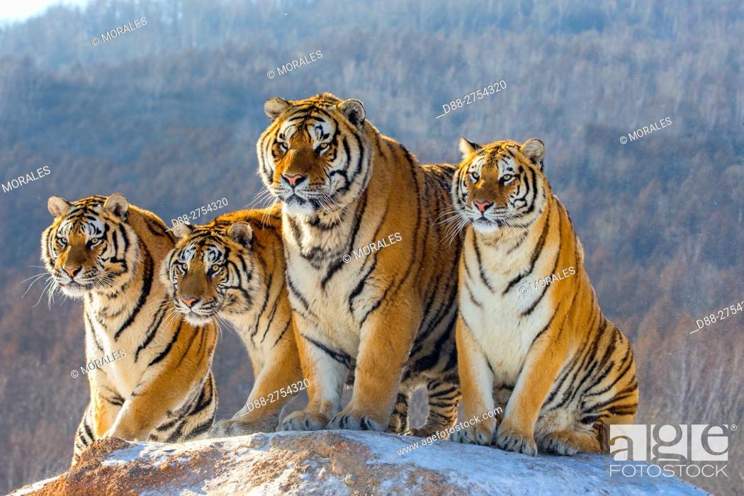 Photo de stock: China, Harbin, Siberian Tiger Park, Siberian Tiger (Panthera tgris altaica).