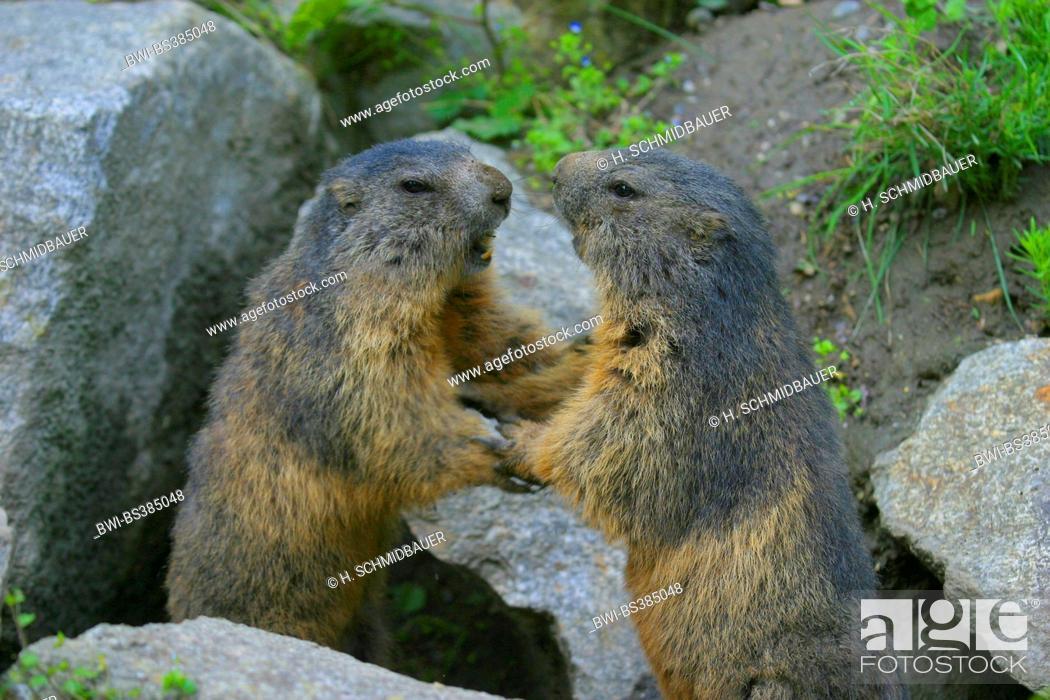 Stock Photo: alpine marmot (Marmota marmota), two fighting marmots, Austria.