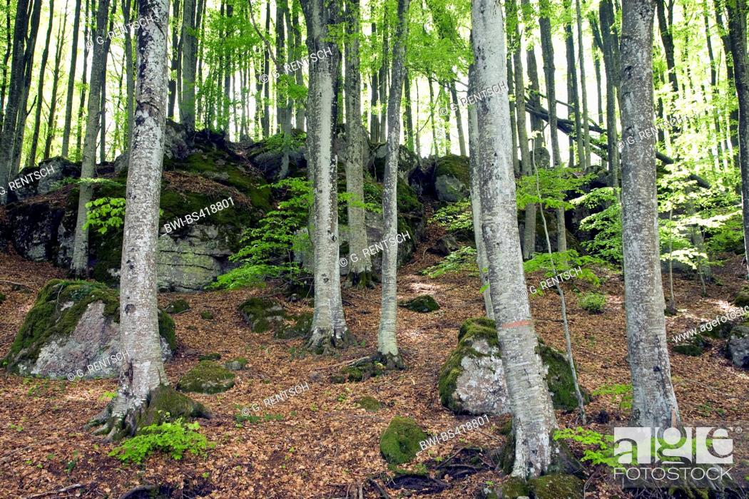 Stock Photo: common beech (Fagus sylvatica), beech forest at Monte Amiata, Italy, Tuscany.