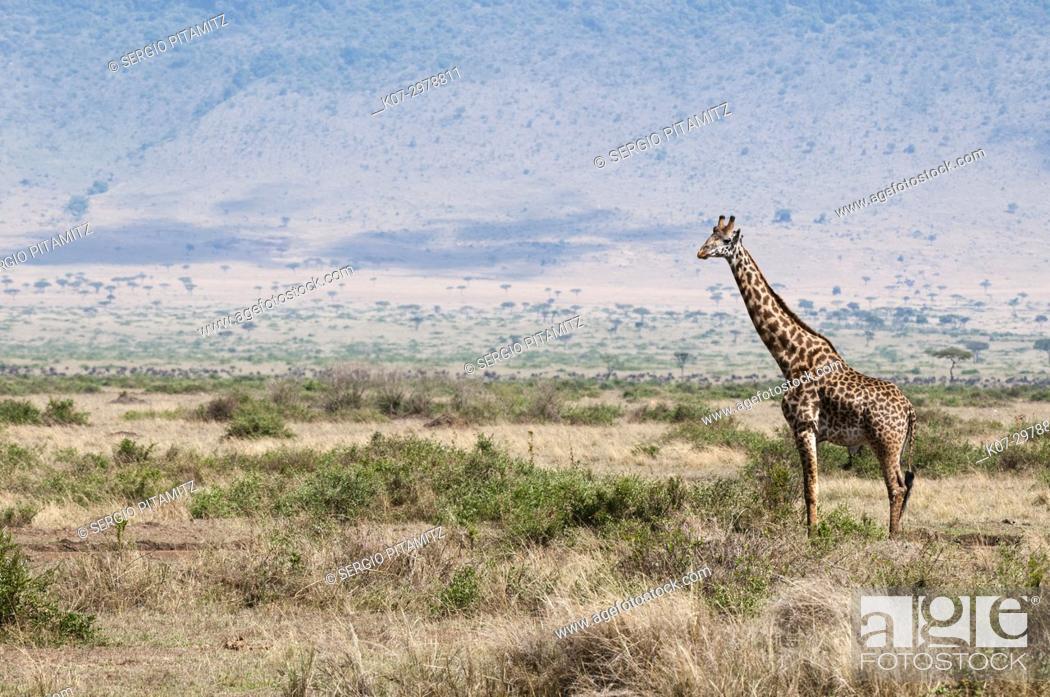 Stock Photo: Masai giraffe (Giraffa camelopardalis), Masai Mara, Kenya.