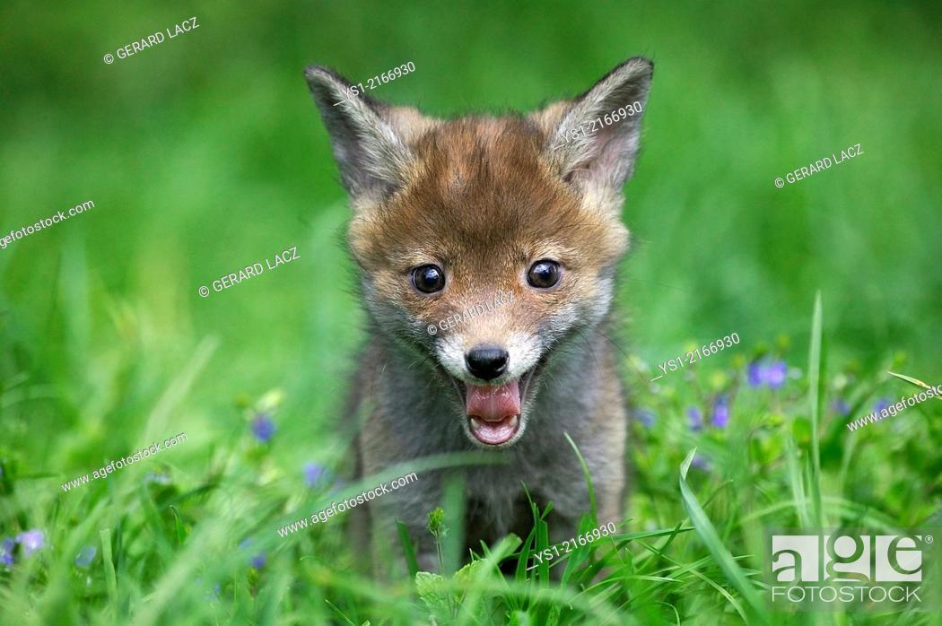 Stock Photo: Red Fox, vulpes vulpes, Cub Yawning, Normandy.