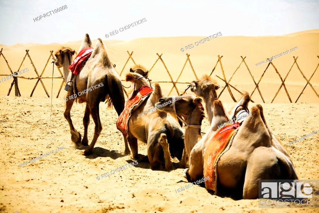 Stock Photo: Bactrian camels Camelus bactrianus in a desert, Kubuqi Desert, Inner Mongolia, China.
