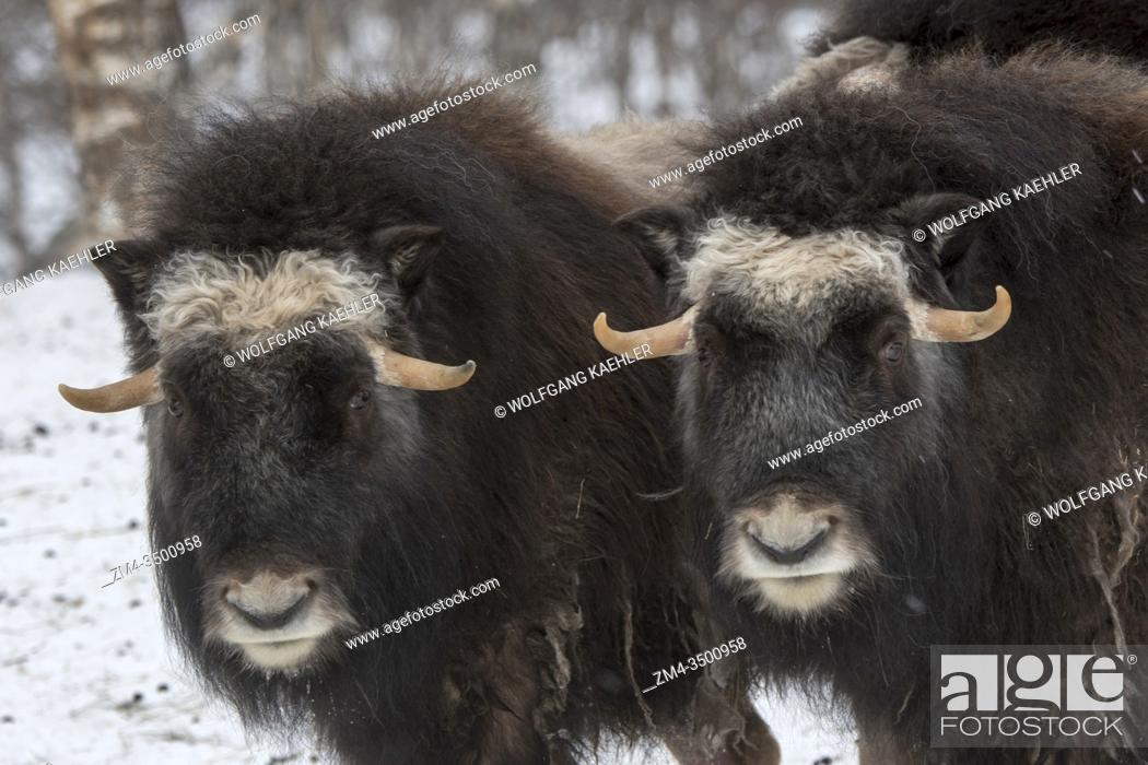 Stock Photo: Muskoxen (Ovibos moschatus) in the snow in winter at a wildlife park in northern Norway.