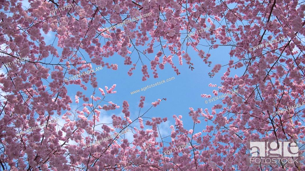 Stock Photo: Cherry blossoms against blue sky.