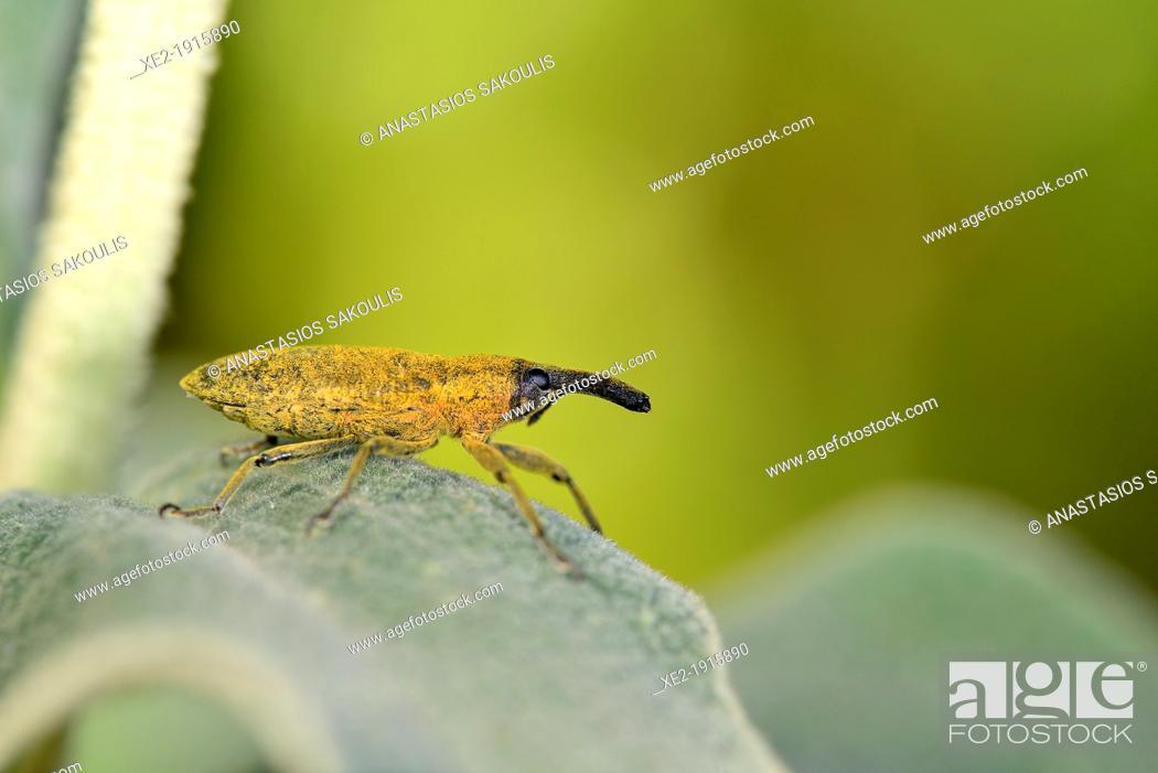 Stock Photo: Lixus angustatus, Crete.