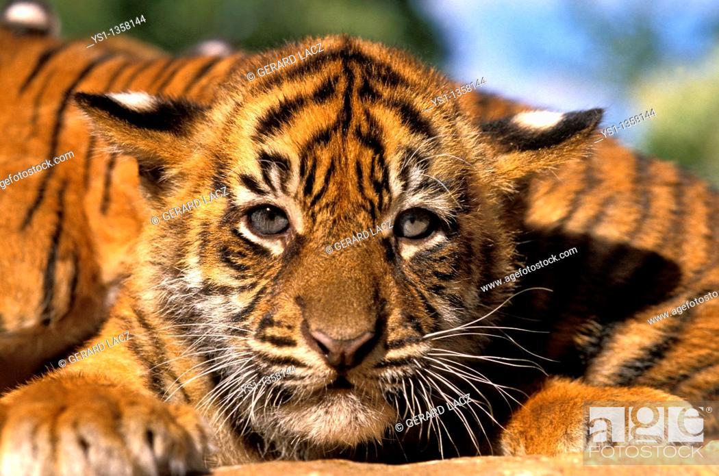 Stock Photo: SUMATRAN TIGER panthera tigris sumatrae, PORTRAIT OF CUB.