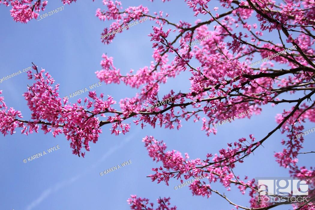Imagen: flowering redbud branches against blue sky, Monroe County, Indiana.