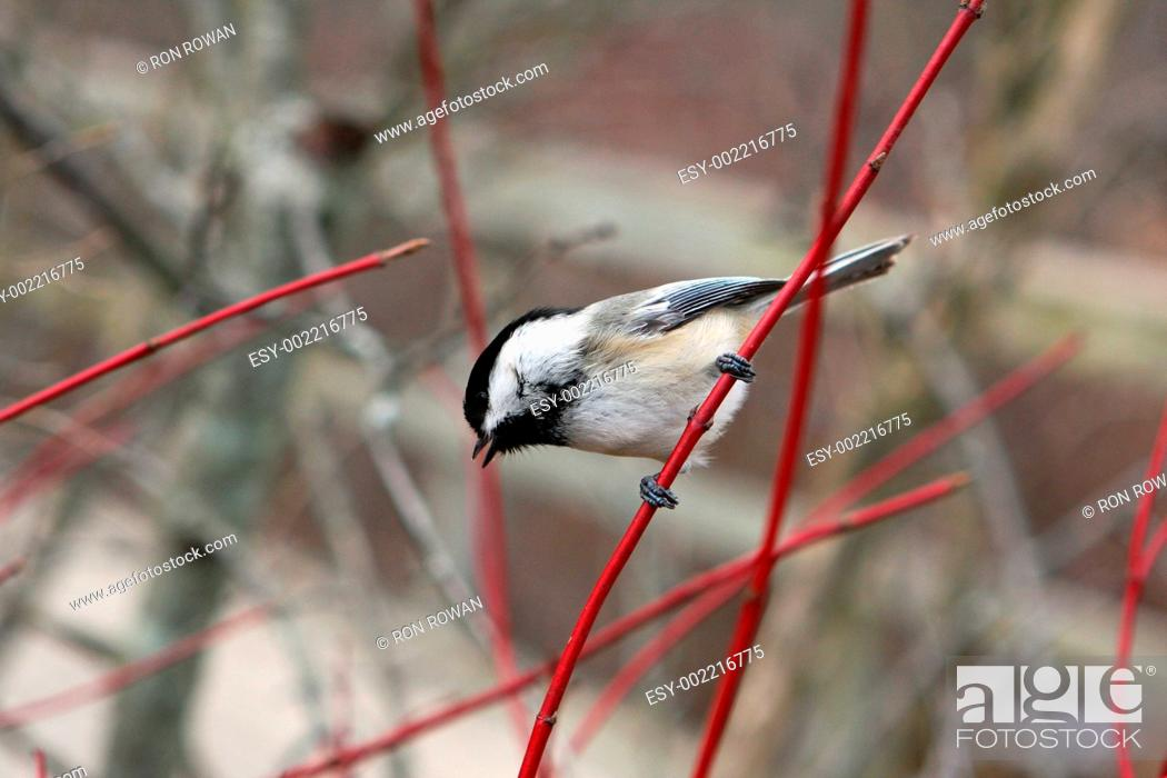Stock Photo: Black-capped Chickadee Poecile atricapillus.