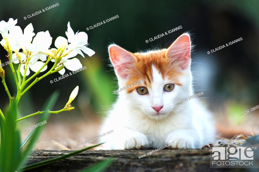 Photo de stock: White and red kitten lying on a wall in the garden and looking at camera.