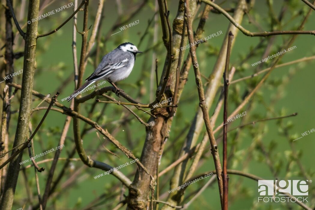 Stock Photo: germany, saarland, bexbach - A white wagtail is searching for fodder.