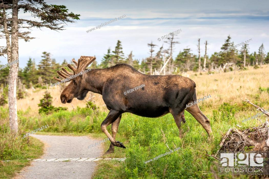 Stock Photo: Large bull Moose (Alces alces) with velvet antlers, Skyline Trail, Cape Breton Highlands National Park, Nova Scotia, Canada.