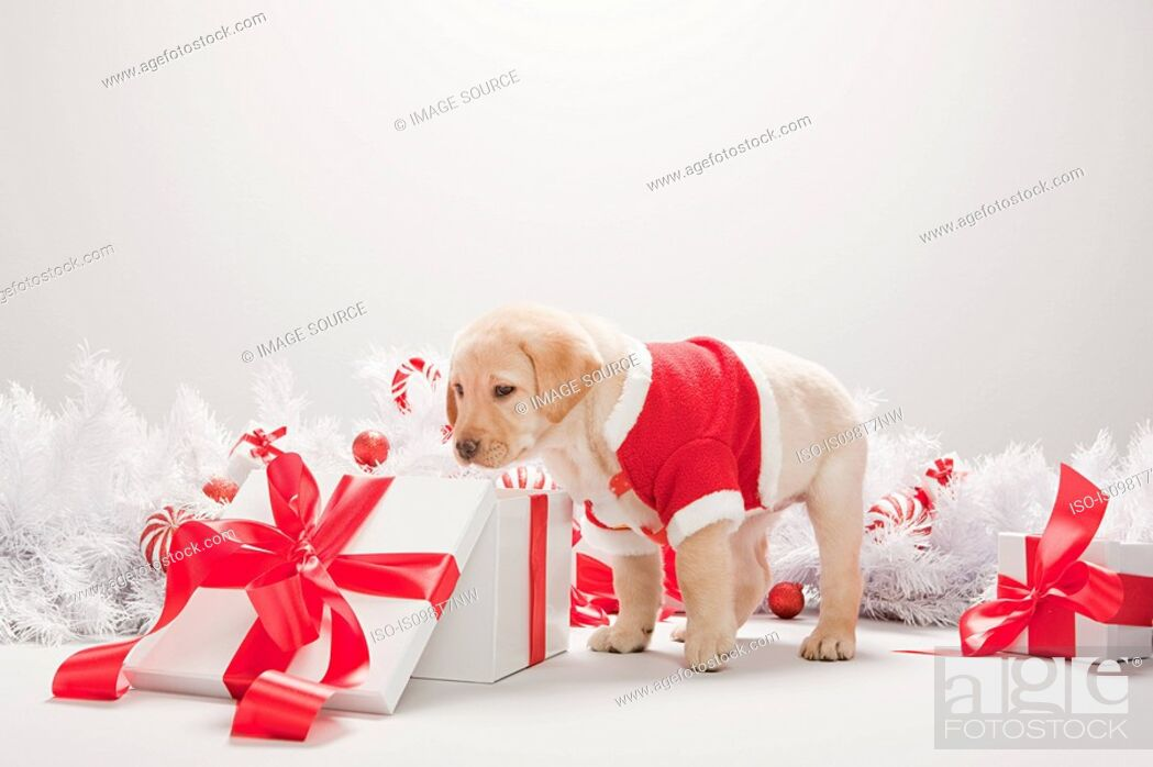 Photo de stock: Labrador puppy looking in christmas gift box.