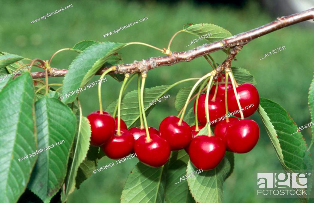 Stock Photo: Cherries. Michigan, USA.