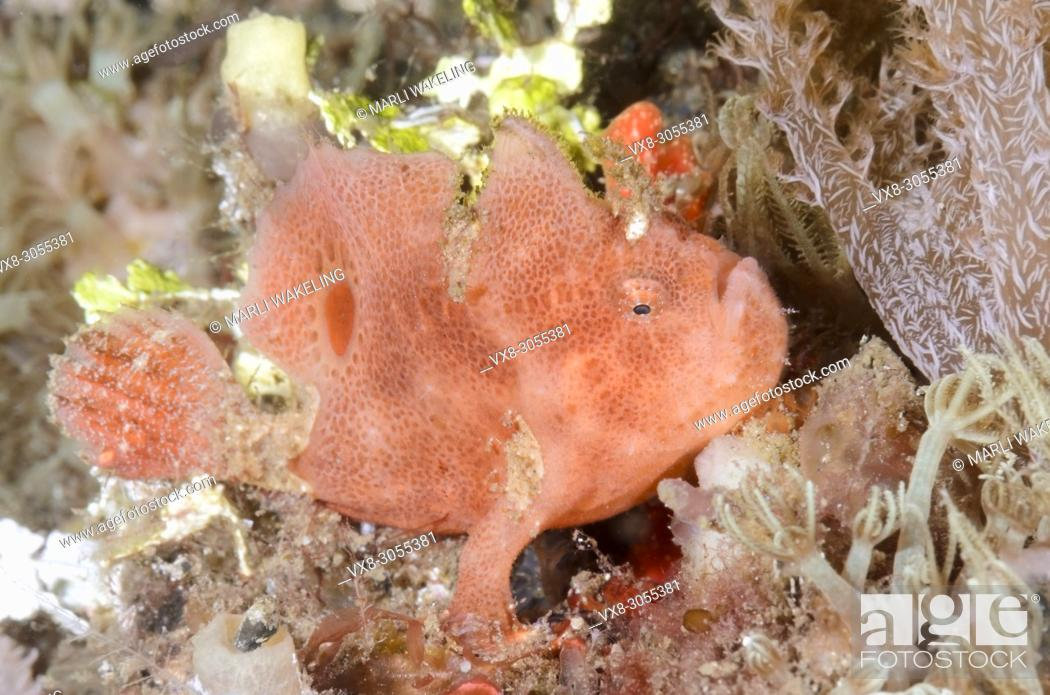 Stock Photo: Ocellated or Lembeh frogfish, Nudiantennarius subteres, Lembeh Strait, North Sulawesi, Indonesia, Pacific.