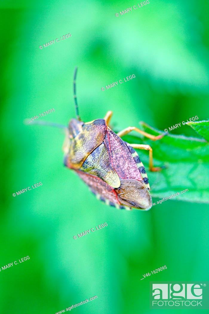 Stock Photo: Sloe Bug, Dolycoris baccarum  A large purplish brown and greenish shieldbug  Has long hairs covering the shield  The antennae and connexivum are banded black.