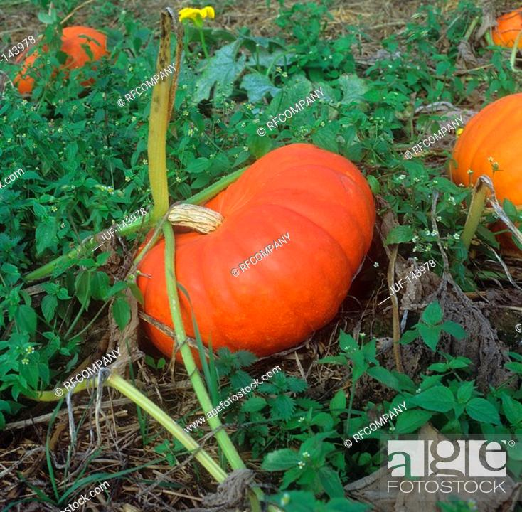 Stock Photo: Buttercup squashes / Cucurbita maxima.