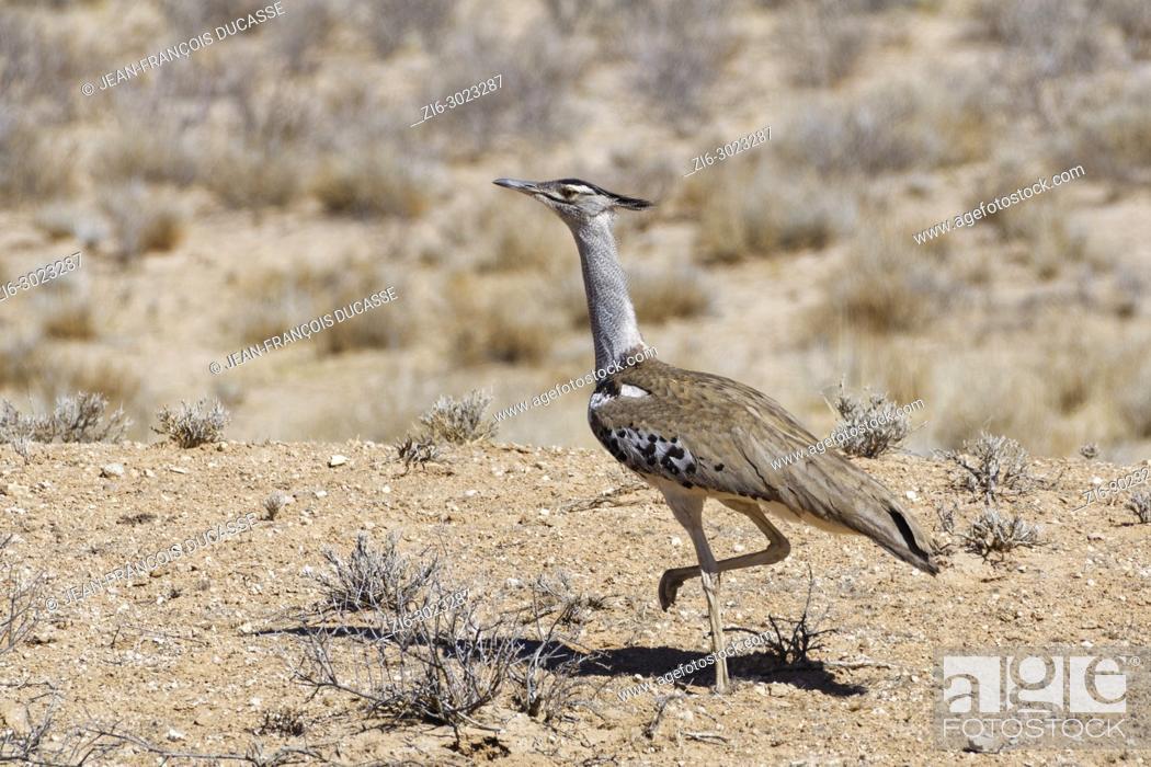 Stock Photo: Kori bustard (Ardeotis kori) moving on arid ground, Kgalagadi Transfrontier Park, Northern Cape, South Africa, Africa.