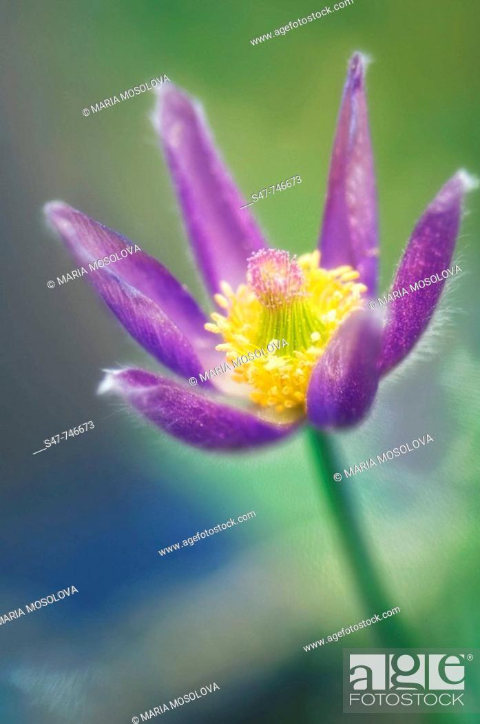 Stock Photo: Pasque Flower. Pulsatilla vulgaris. April 2008, Maryland, USA.
