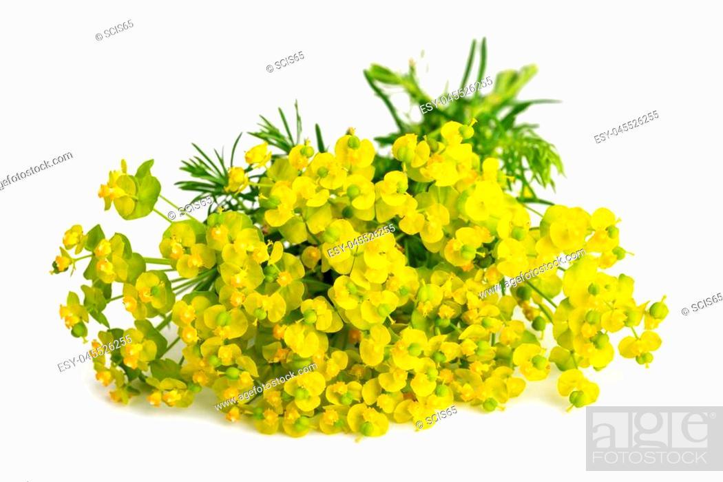 Stock Photo: Cypress spurge (Euphorbia cyparissias) isolated on white background.