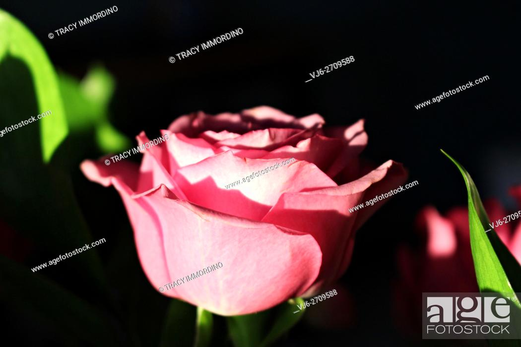 Stock Photo: Close up of a single pink rose in full bloom from the side with a black background.