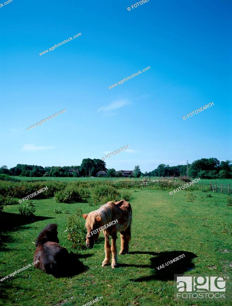 Stock Photo: Two Ponies In Field.