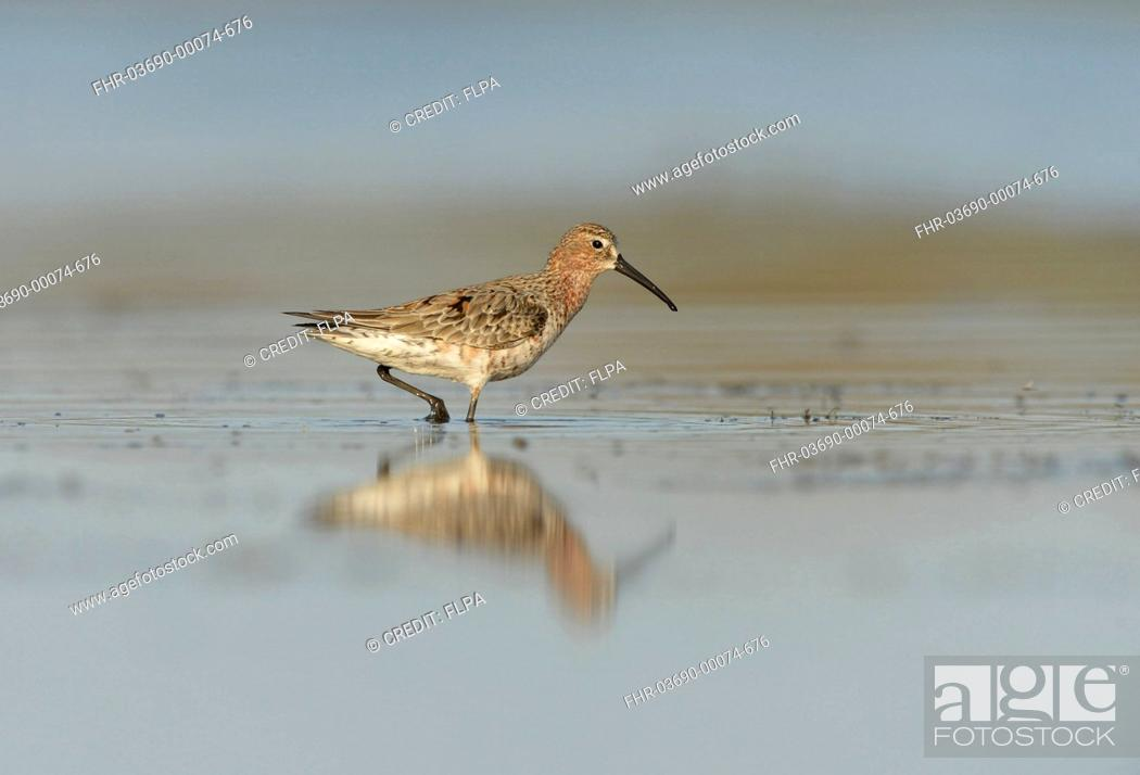 Photo de stock: Curlew Sandpiper (Calidris ferruginea) adult, moulting into breeding plumage, wading in shallow water at coast, Black Sea, Dobruja, Romania, May.